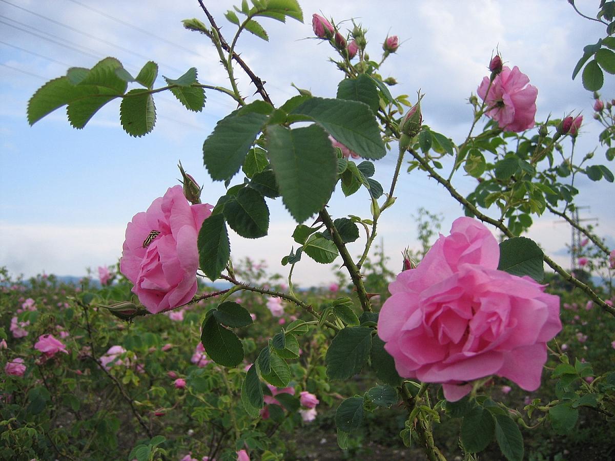 Údolí růží