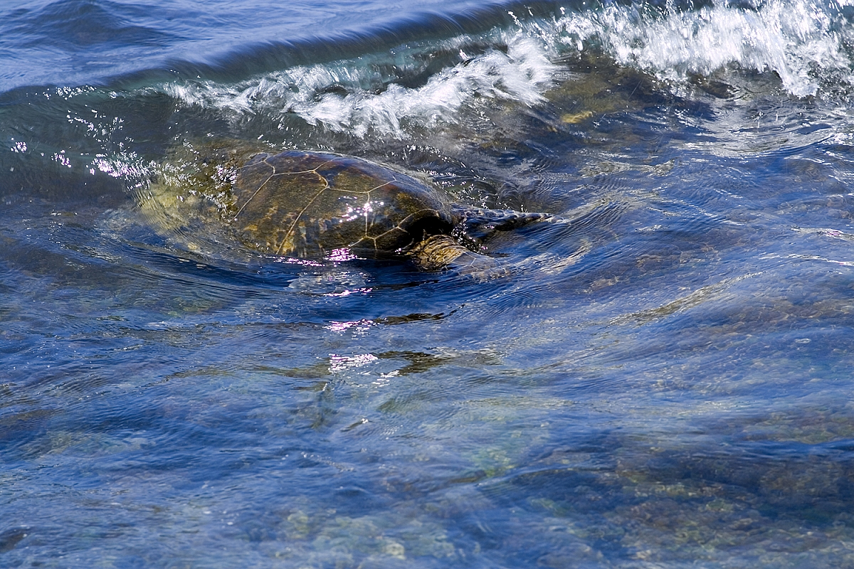 Mořská želva u Kalamaki