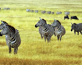 Národní parky Keňa, safari a zebry