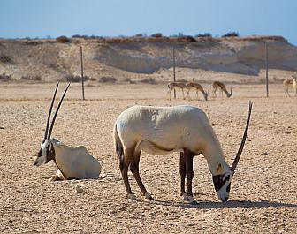 Útočiště oryxe arabského